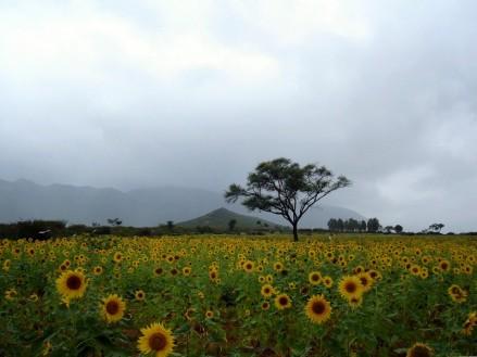 sunflowersfield.jpg